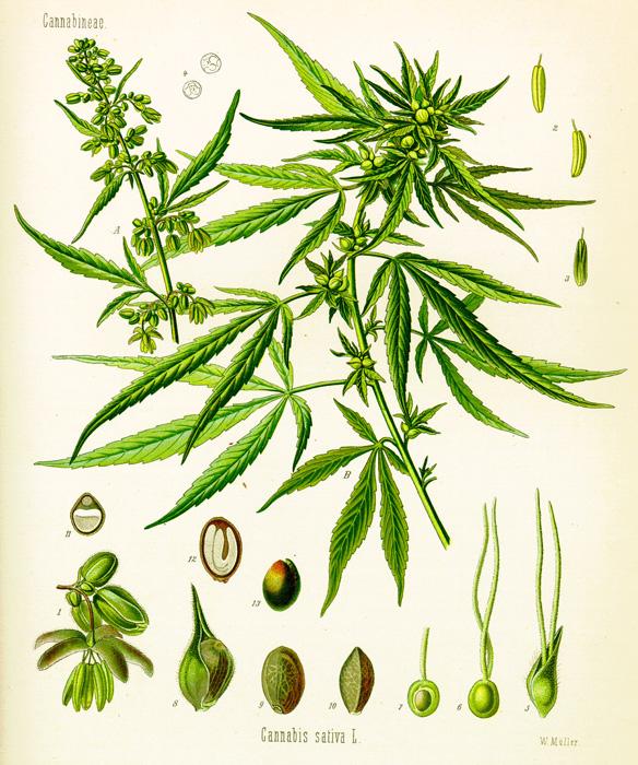 Cannabis – ein neuer Trend oder alte Medizin? Teil 1 | Vaporizer Blog | VAPSTORE®